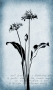 Gray-Wild-Garlic-Botanical-Series-1440px-wide-2