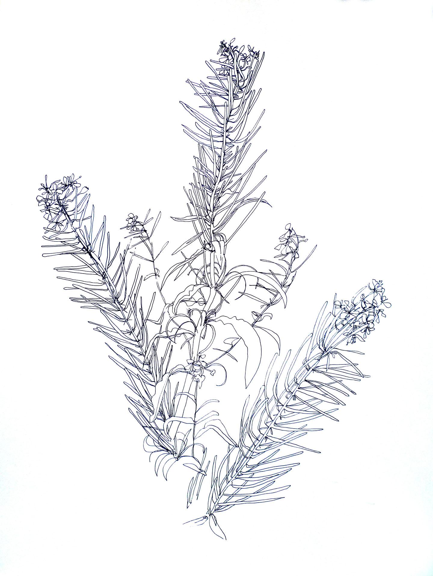 Bradley-rosebay-willowherb-1440px-wide-10
